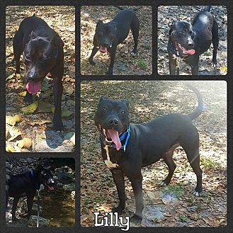 Pit Bull Terrier Mix Dog for adoption in Miami, Florida - Lilly