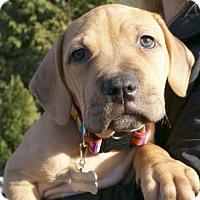 Adopt A Pet :: Farrah - Framingham, MA