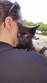 Domestic Shorthair Kitten for adoption in Waterbury, Connecticut - Shadow