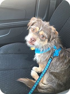 Terrier (Unknown Type, Small) Mix Puppy for adoption in Los Angeles, California - Alexander