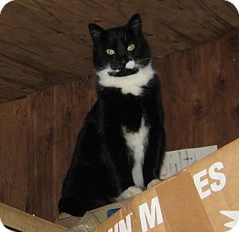 Domestic Shorthair Cat for adoption in Colville, Washington - Brother