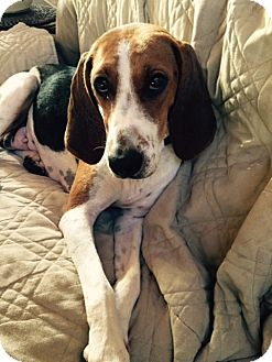 Treeing Walker Coonhound/Foxhound Mix Dog for adoption in Barnegat, New Jersey - Willa