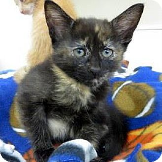 Domestic Shorthair Kitten for adoption in Janesville, Wisconsin - Betty