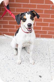 Hound (Unknown Type) Mix Dog for adoption in Brooklyn, New York - Georgia