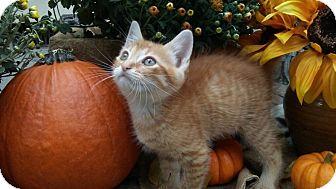 American Shorthair Kitten for adoption in Barrington, New Jersey - Winston
