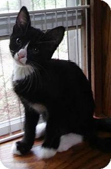 Domestic Shorthair Cat for adoption in Witter, Arkansas - Albert (3-month boy)