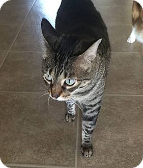 Domestic Mediumhair Cat for adoption in Lithia, Florida - Rose
