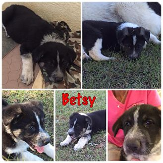 Great Pyrenees/Shepherd (Unknown Type) Mix Puppy for adoption in Folsom, Louisiana - Betsy