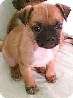 Pug/Chihuahua Mix Puppy for adoption in Boulder, Colorado - Sedona-ADOPTION PENDING