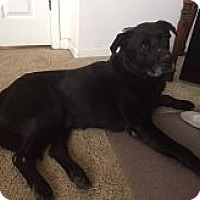 Labrador Retriever Mix Dog for adoption in Evergreen, Colorado - Spock