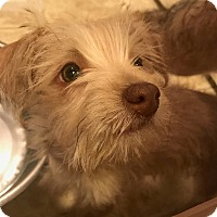 Adopt A Pet :: Fawn - Oakley, CA