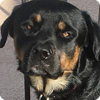 Adopt A Pet :: Joker - Gilbert, AZ