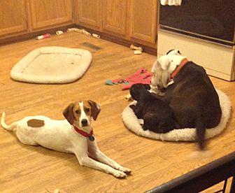 Beagle/Hound (Unknown Type) Mix Dog for adoption in Dumfries, Virginia - Noel