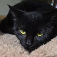 Domestic Shorthair/Domestic Shorthair Mix Cat for adoption in New Iberia, Louisiana - Priscilla