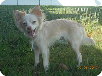 Papillon Mix Dog for adoption in haslet, Texas - justice