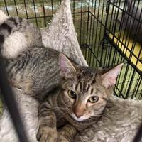 Adopt A Pet :: Orono (Kit 1 Momcat 6/1/17) - McDonough, GA