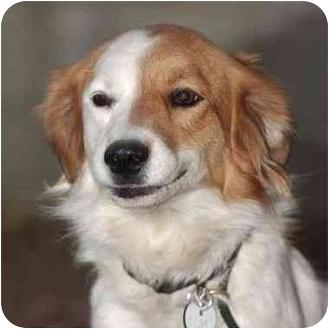Brittany Mix Dog for adoption in El Segundo, California - Brittany