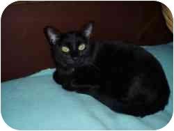 Domestic Shorthair Cat for adoption in Hamburg, New York - Inky