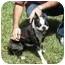 Photo 1 - Boston Terrier Dog for adoption in Temecula, California - Mimi