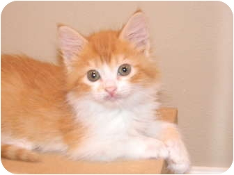 Domestic Longhair Kitten for adoption in Houston, Texas - Willy