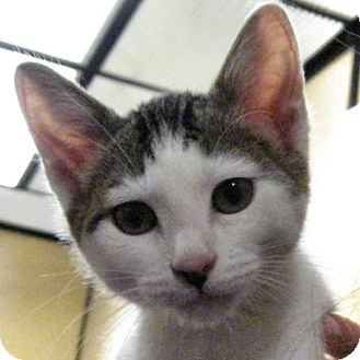 Domestic Shorthair Kitten for adoption in Weatherford, Texas - Rookie
