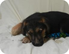 German Shepherd Dog/Australian Shepherd Mix Puppy for adoption in Antioch, Illinois - Ernie ADOPTED!!
