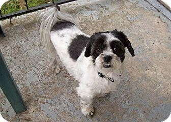 Japanese Chin/Shih Tzu Mix Dog for adoption in Hamilton, Ontario - Jake