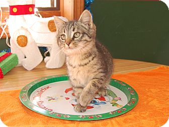 Domestic Shorthair Kitten for adoption in North Judson, Indiana - Trinity