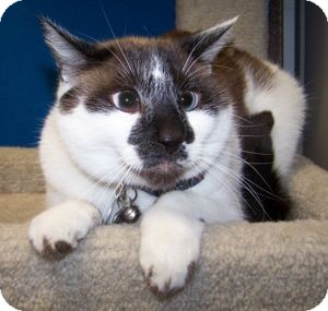 Siamese Cat for adoption in Colorado Springs, Colorado - Avery
