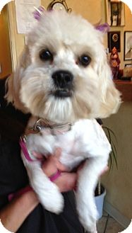 Maltese/Poodle (Miniature) Mix Dog for adoption in Mission Viejo, California - ROXI
