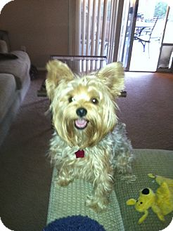 Yorkie, Yorkshire Terrier Dog for adoption in Goodyear, Arizona - Andy