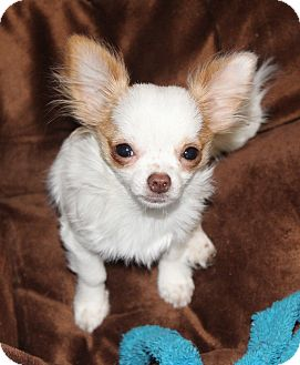 Chihuahua Puppy for adoption in Temecula, California - Tulip- Very Tiny Teacup