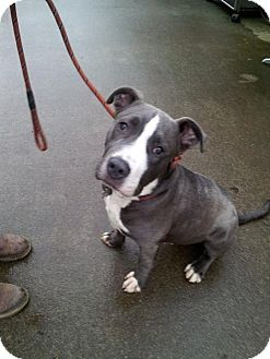 Pit Bull Terrier Mix Dog for adoption in Bellingham, Washington - Will