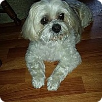 Adopt A Pet :: Chico - Shawnee Mission, KS