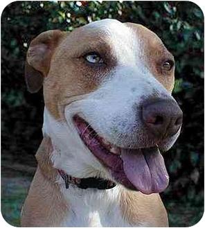 Pit Bull Terrier/Australian Shepherd Mix Dog for adoption in Santa Barbara, California - Esha