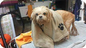 Shih Tzu Dog for adoption in Huntley, Illinois - Gizzmo