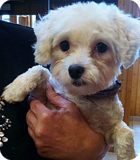 Maltese/Poodle (Toy or Tea Cup) Mix Dog for adoption in Topeka, Kansas - Sweet Irene
