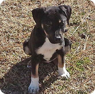 Shepherd (Unknown Type)/Collie Mix Puppy for adoption in Warrenville, Illinois - Josie