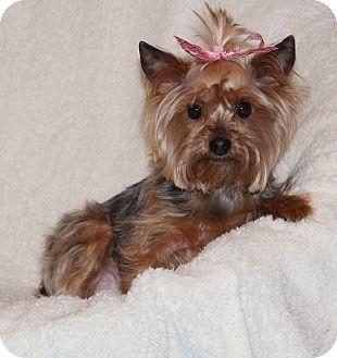 Yorkie, Yorkshire Terrier Dog for adoption in Yadkinville, North Carolina - Maddie