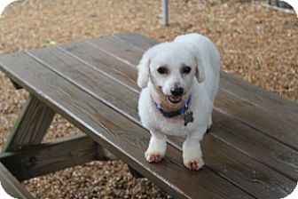 Poodle (Miniature)/Bichon Frise Mix Dog for adoption in Allentown, Pennsylvania - Anderson