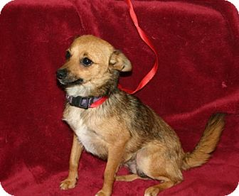 Chihuahua/American Bulldog Mix Dog for adoption in Va Beach, Virginia - Denna