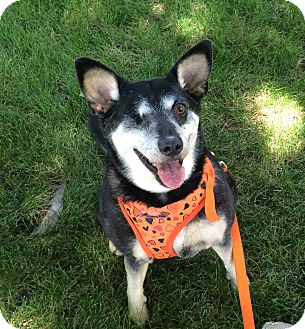 Shiba Inu/Terrier (Unknown Type, Small) Mix Dog for adoption in Centennial, Colorado - Sydney