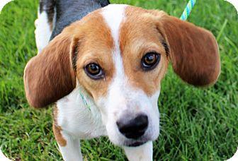 Beagle Mix Puppy for adoption in Lisbon, Iowa - Raine