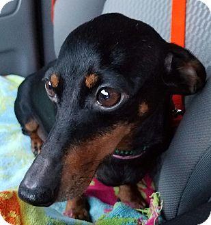 Dachshund Dog for adoption in Decatur, Georgia - Siena