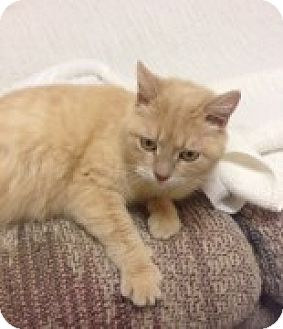 Domestic Shorthair Cat for adoption in McHenry, Illinois - Clemintine