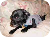Chihuahua/Terrier (Unknown Type, Small) Mix Dog for adoption in Carrollton, Texas - Kiwi