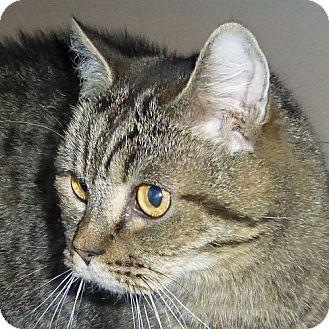 British Shorthair Cat for adoption in Port Angeles, Washington - Little