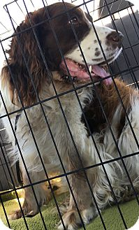 Springer Spaniel Mix Dog for adoption in Thousand Oaks, California - Rafferty