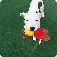 Adopt A Pet :: Opie - Westminster, CA
