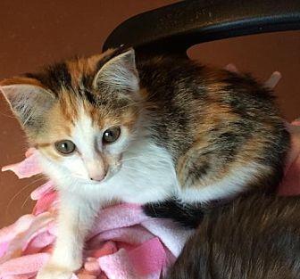 Domestic Mediumhair Kitten for adoption in Weatherford, Oklahoma - Harley